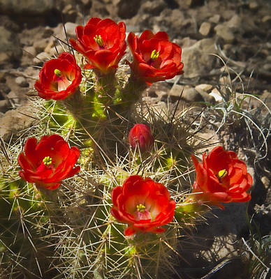 Art Print featuring the photograph Claret Cup 7 by Lou  Novick