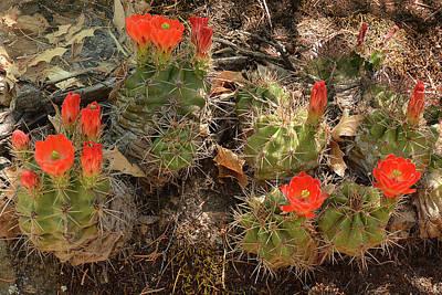 Photograph - Claret Cup Cactus by Alan Lenk