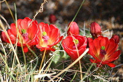 Photograph - Claret Cups Pilar by Ron Monsour