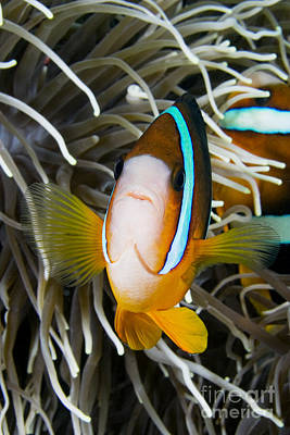 Tendrils Photograph - Clarks Anemonefish by Dave Fleetham - Printscapes