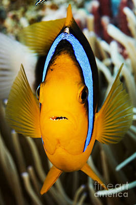 Amphiprion Clarkii Photograph - Clarks Anemonefish Face by Dave Fleetham - Printscapes
