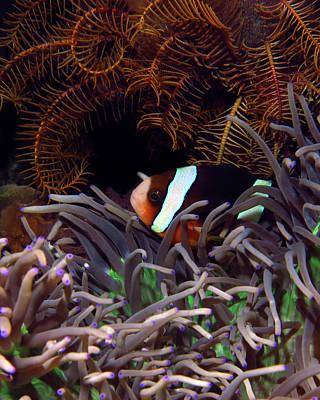 Clark's Anemonefish, Indonesia 2 Art Print