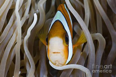 Amphiprion Clarkii Photograph - Clarks Anemonefish by Reinhard Dirscherl