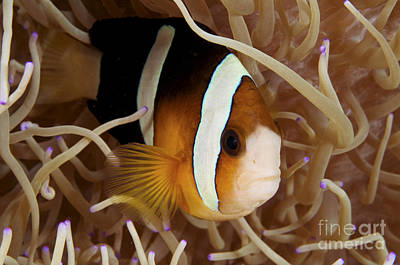 Amphiprion Clarkii Photograph - Clarks Anemonefish by Steve Rosenberg - Printscapes