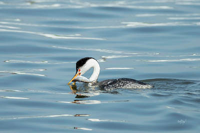 Water Fowl Photograph - Clarks Grebe by Everet Regal
