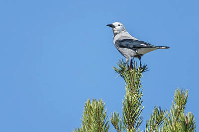 Photograph - Clark's Nutcracker by Belinda Greb