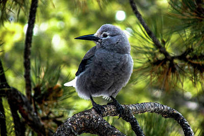 Photograph - Clark's Nutcracker by Marilyn Burton