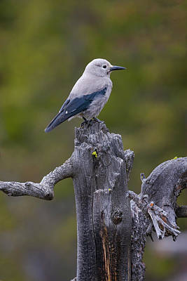Photograph - Clark's Nutcracker by Mark Miller
