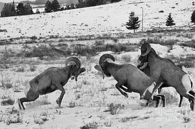 Photograph - Clash Of The Bighorn Bruisers by Adam Jewell