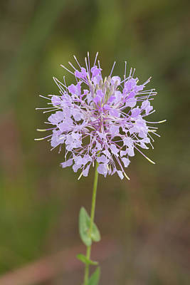 Photograph - Clasping Warea Flowers by Paul Rebmann