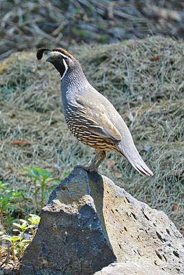 Photograph - Classic Male Quail On Rock by Carol Groenen