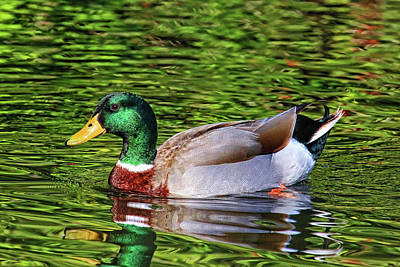 Photograph - Classic Mallard Drake by HH Photography of Florida