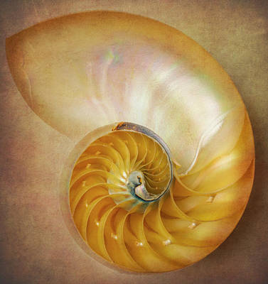 Photograph - Classic Nautilus Shell  by Garry Gay