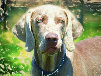 Photograph - Classic Weimaraner by Alice Gipson