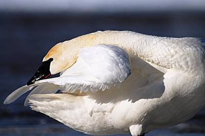 Photograph - Cleanliness Is Next To Swanliness by Larry Ricker