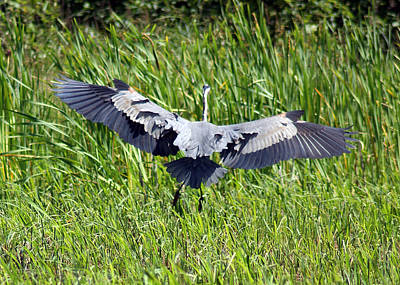 Photograph - Cleared For Landing - Blue Heron by Ron Read