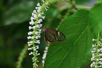 Clearwing Butterfly Art Print