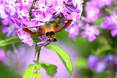 Photograph - Clearwing Hummingbird Moth by Brook Burling