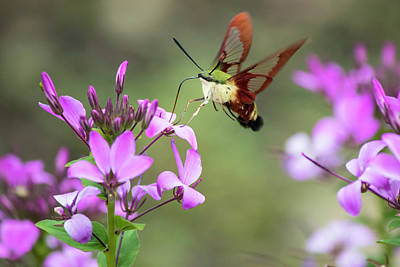 Photograph - Clearwing Hummingbird Moth by Ron Grafe