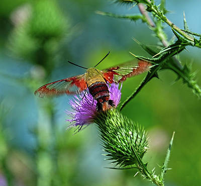 Photograph - Clearwing Hummingbird Moth by Ronda Ryan