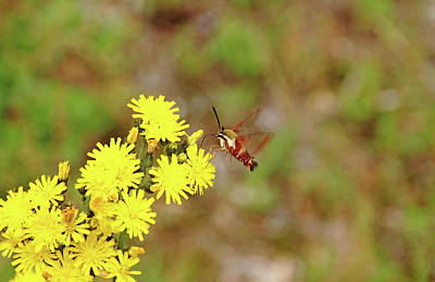 Photograph - Clearwing Moth And Hawkweed by Debbie Oppermann