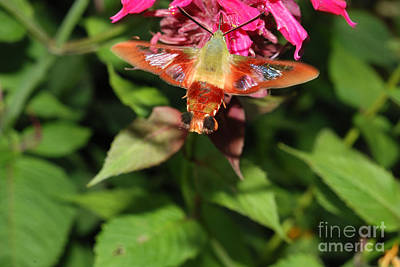 Bee Collects Nectar Photograph - Clearwing Moth At Bee Balm by John Kaprielian