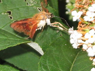 Photograph - Clearwing Moth by Iris Newman
