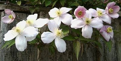 Photograph - Clematis 1046 by Julia Woodman