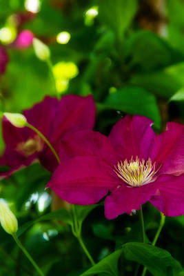 Photograph - Clematis - 2 by Barry Jones