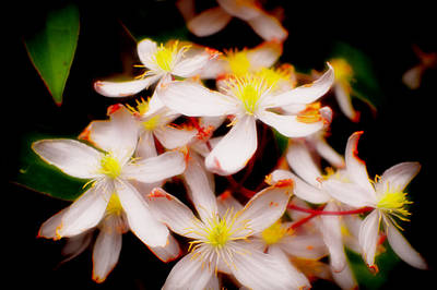 Photograph - Clematis by Adria Trail