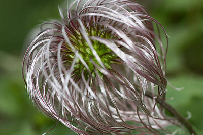 Botanic Photograph - Clematis After Blooming by Lise-Lotte Larsson