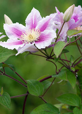 Botanic Photograph - Clematis And Buds by Lise-Lotte Larsson