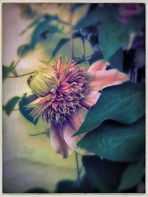 Photograph - Clematis by Anne Thurston