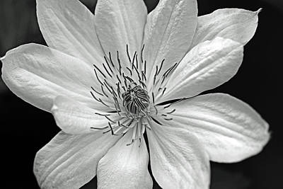 Photograph - Clematis Black And White by Debbie Oppermann