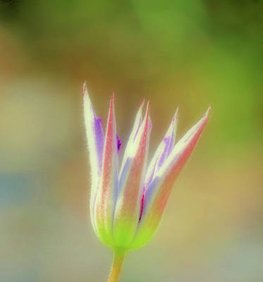 Photograph - Clematis Bud - Cropped by MTBobbins Photography