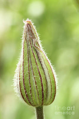 Photograph - Clematis Bud by Judy Whitton