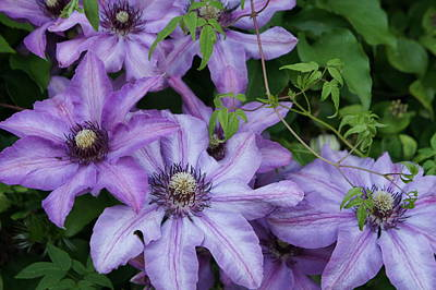 Photograph - Clematis by Christian Trajkovski