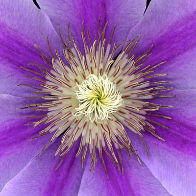 Clematis Print by Christopher Gruver