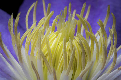 Photograph - Clematis Closeup by Ron Pate