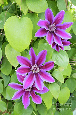 Photograph - Clematis Fireworks by Tim Gainey
