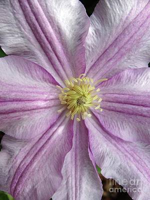 Photograph - Clematis Flower by Rebecca Overton