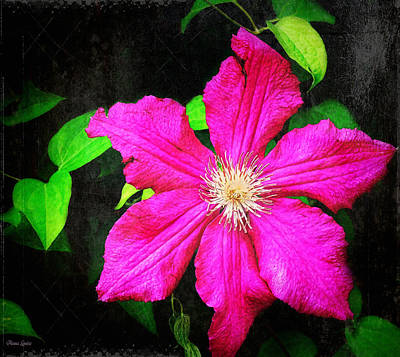 Photograph - Clematis Glory by Anna Louise