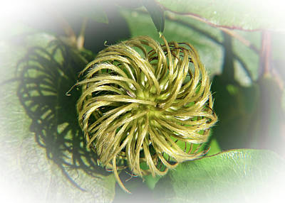 Photograph - Clematis Head In Brilliant Sunshine by Douglas Barnett