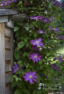 Photograph - Clematis by Idaho Scenic Images Linda Lantzy