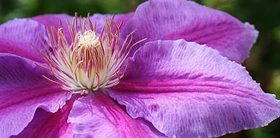 Photograph - Clematis In Bloom by Bruce Bley