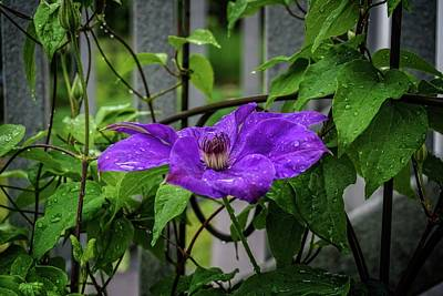 Photograph - Clematis In Purple by Mary Timman