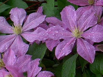 Photograph - Clematis In The Rain by Carolyn Jacob