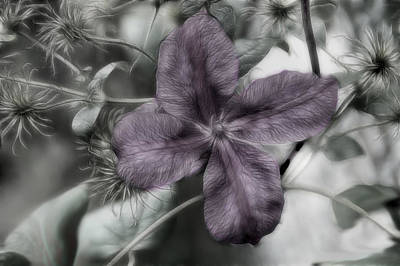 Photograph - Clematis In Tones by Kathleen Stephens