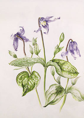 Flower Still Life Drawing - Clematis Integrifolia by Alison Cooper