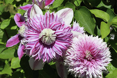 Photograph - Clematis Josephine #10 by Judy Whitton